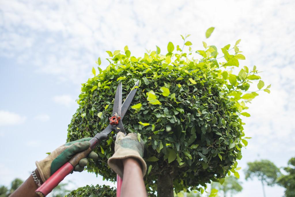 trimming a shrub