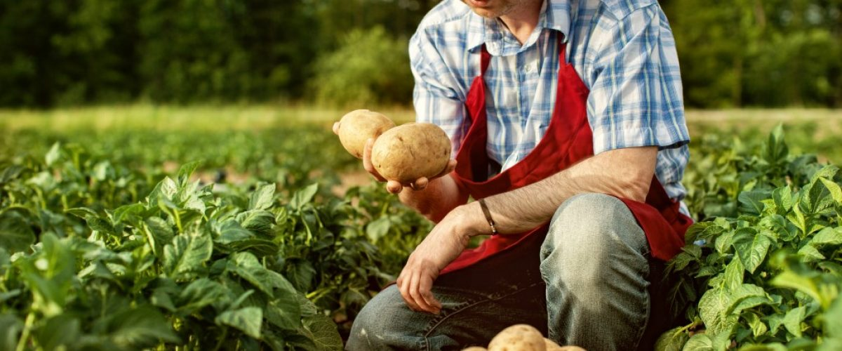 Farmer with potatoes